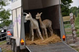 Vi ha ventet lenge og endelig har de første alpakkaene kommet til Gulli